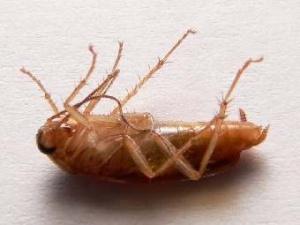Вчені просять повернути в будинки тарганів