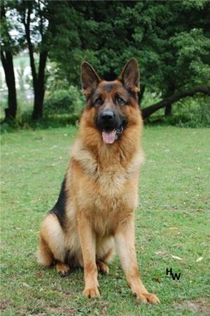 Пес Меркурі став абсолютним переможцем виставки собак