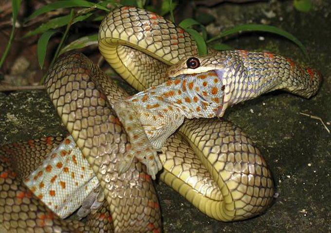 У джунглях Азії живуть літаючі змії. Відео