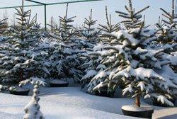 У Луцьку новорічні ялинки продаватимуть з 15 грудня