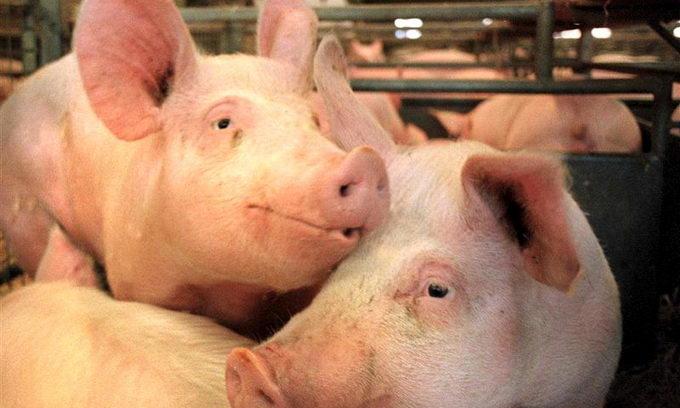 Собівартість м'яса свинини — 23 гривні