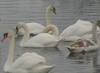 Під опікою міських екологів знаходяться 82 лебеді