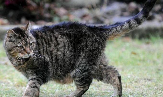 Найстарішій кішці у світі — 39 років