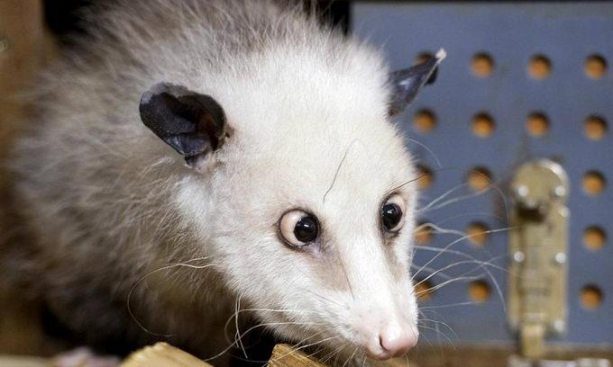 Косоока самка опосума стала найпопурярнішою тваринкою Німеччини