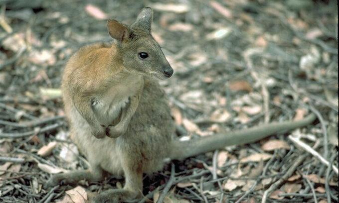 Чуйний австралієць врятував потопаюче кенгурятко
