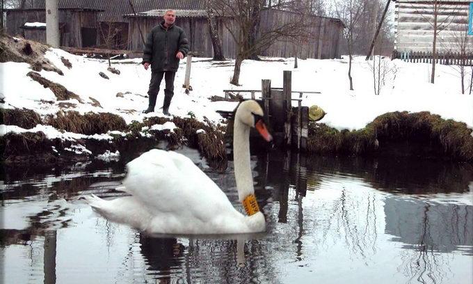 Волинянин врятував пораненому лебедю життя. ФОТО