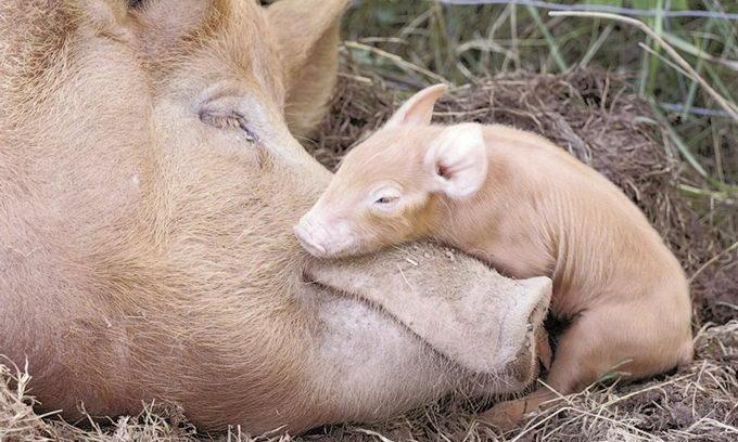 Поголів'я свиней на Волині зменшується