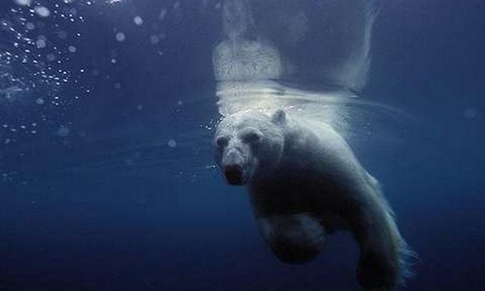 Біла ведмедиця пропливла у пошуках крижини 690 кілометрів