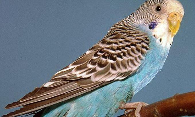 У туалет букмекерської контори підкинули хвилястого папугу