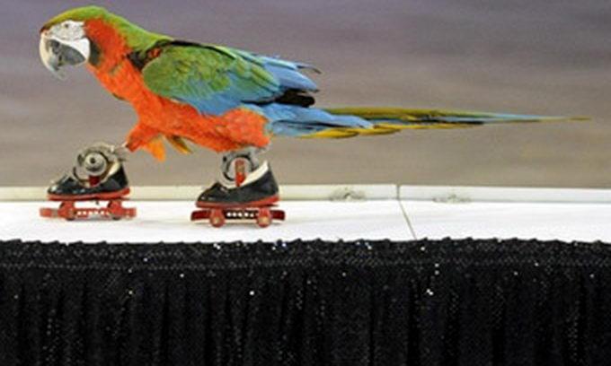 На цирковому фестивалі у Празі переміг папуга на роликах