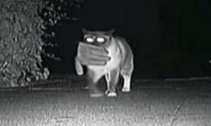 Кіт-клептоман поїде на парад домашніх тварин