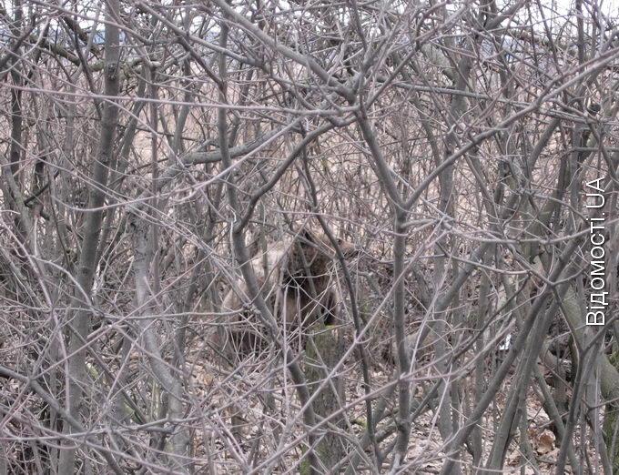 Під Луцьком на автодорозі розгулює ведмідь