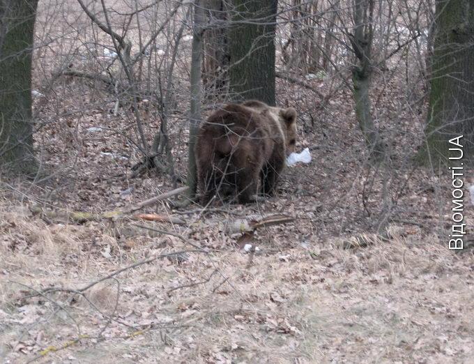 Ведмедя, що гуляє під Луцьком, ніхто не ловитиме?