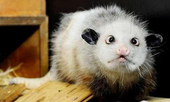 Косоокий опосум стане зіркою серіалу про ветеринарів