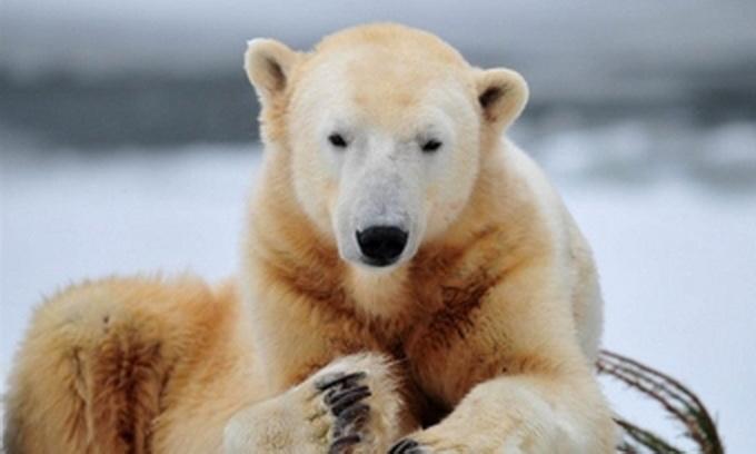Померла знаменитість Берлінського зоопарку - ведмідь Кнут