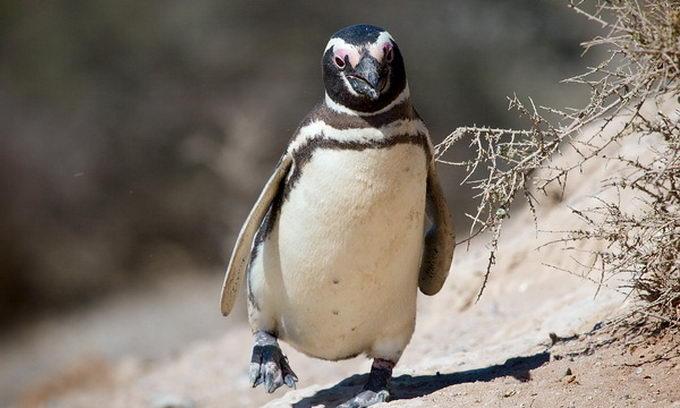 Пінгвіна взяли в салон літака, щоб він не сумував у багажному відсіку