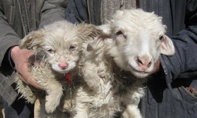 На китайській фермі вівця народила цуценя