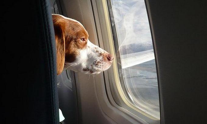 В Євросоюзі домашніх тварин з пасажирами возитимуть у літаках разом