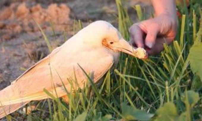 У Петербурзі помітили білого ворона