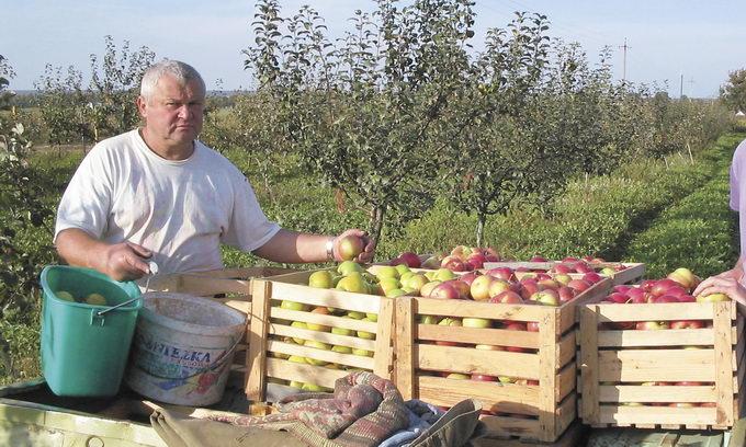 Сад приноситиме дохід, якщо вирішити проблему збуту яблук