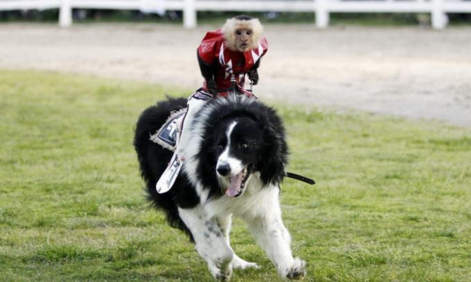 Мавпи осідлали собак під керівництвом чемпіона з родео