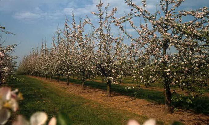 У селі Промінь Луцького району вирощують екологічно чисті яблука