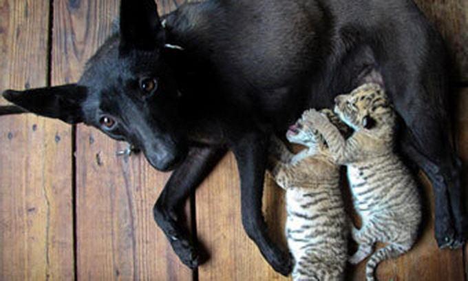 Собака стала мамою для новонароджених лигренят