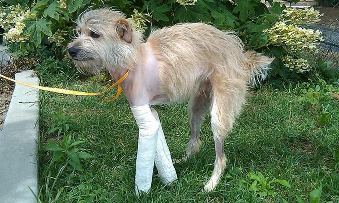 Скалічений торнадо пес повернувся додому через 20 днів