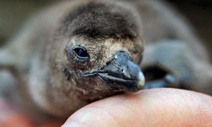 Пінгвінчику-сироті рукавичка замінила маму
