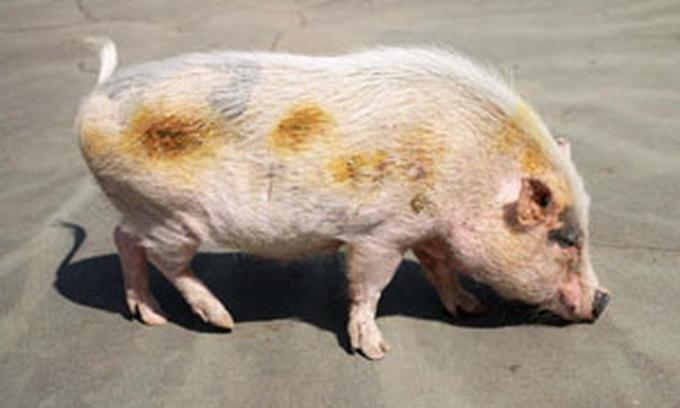 У США шкільне подвір'я прибирає свиня
