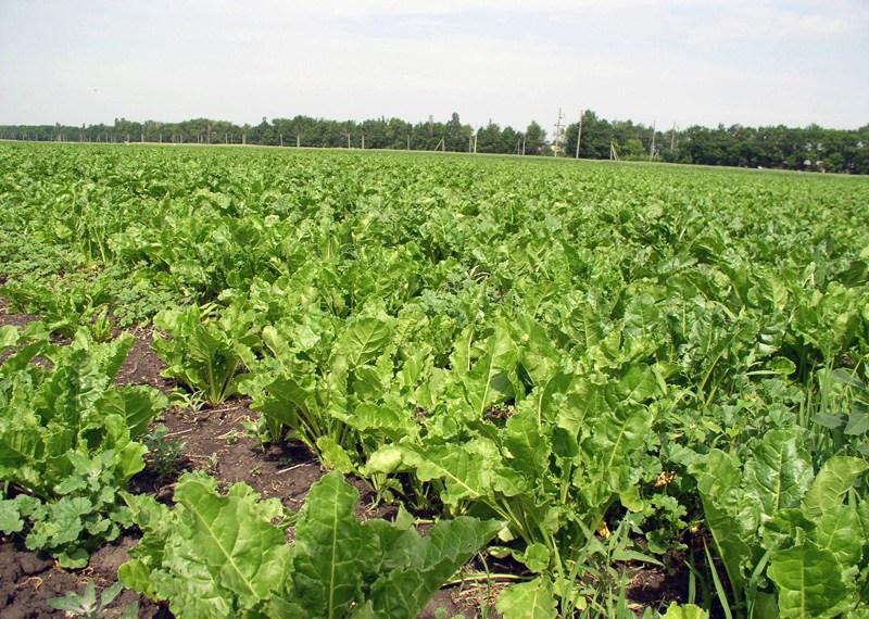 Аграрії прогнозують врожайність цукрового буряка 500 ц з гектара