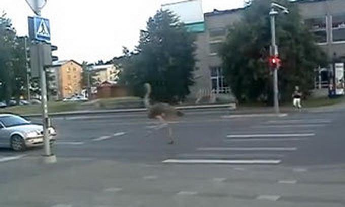 Страуси влаштували забіг у естонському місті