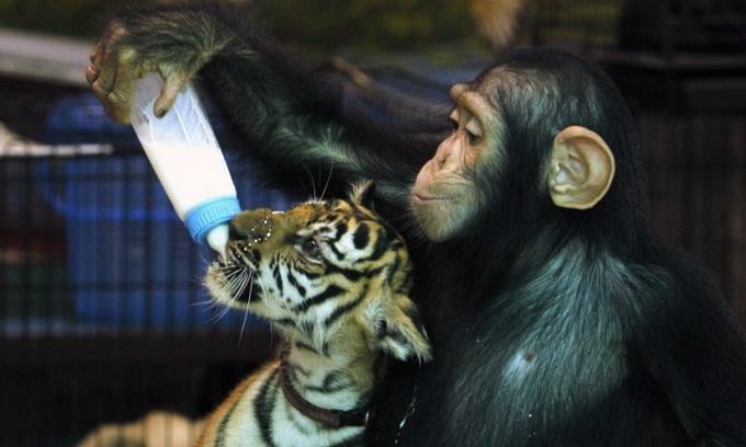 Самець шимпанзе вигодовує тигренят