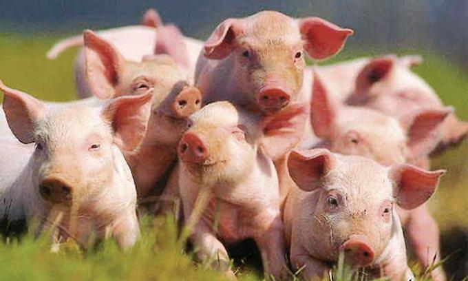 На Волині збільшують поголів'я свиней за данською технологією