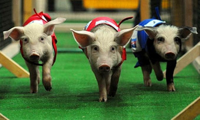 У Бразилії щороку влаштовують свинячі перегони