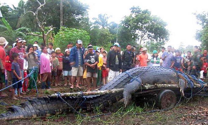 Найбільшого в світі крокодила вирішили залишити в неволі
