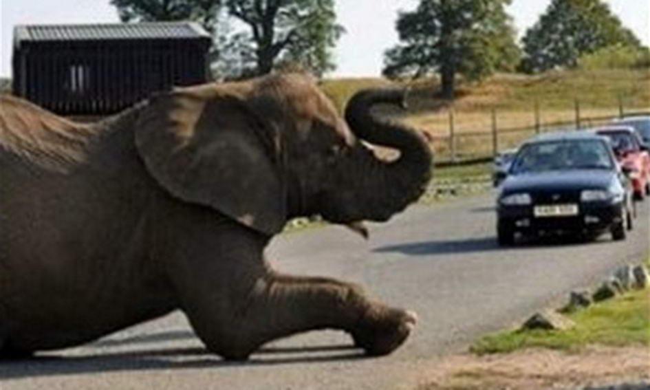 5-тонний слон заблокував в'їзд у сафарі-парк