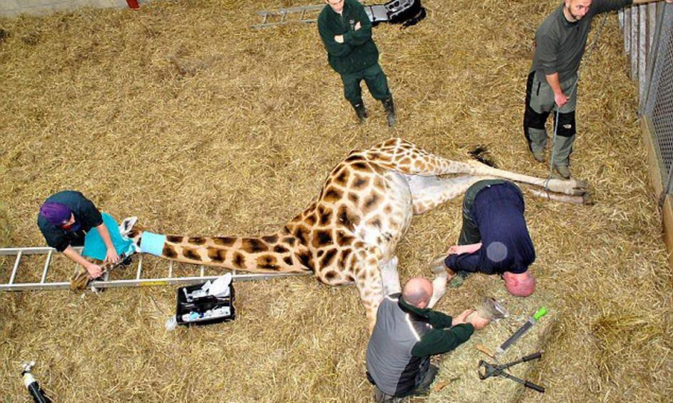 У Британії жирафі зробили «педикюр» кусачками й напильником