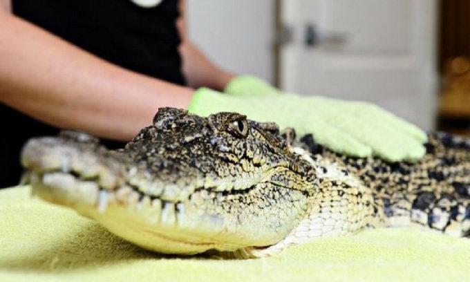 Крокодилу в салоні краси зробили епіляцію в зоні бікіні і педикюр