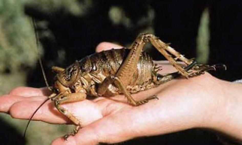 У Новій Зеландії знайшли найбільшу комаху в світі