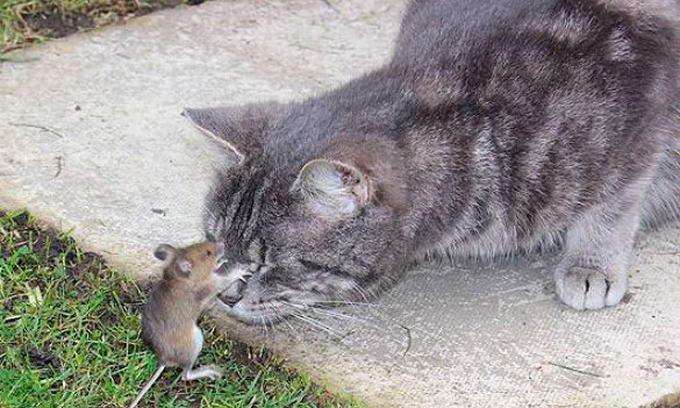 У Британії миша змогла вижити, завівши дружбу з котом