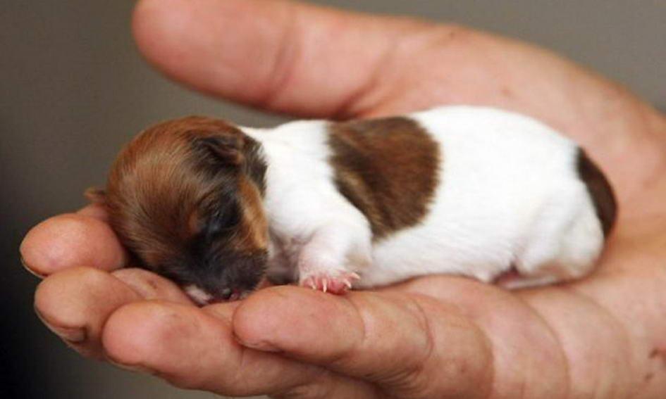 Найменше у світі цуценя важило при народженні всього 60 грамів
