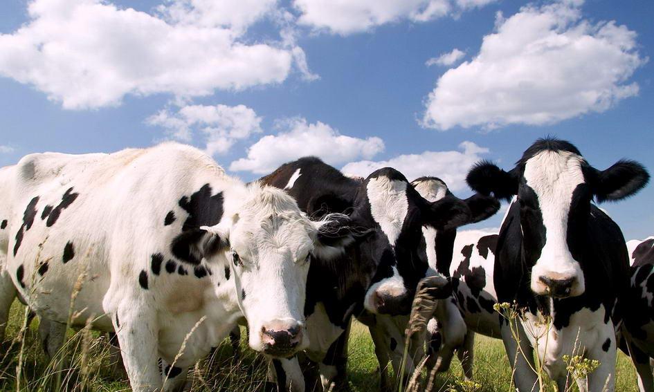 У волинських селян більшає корів