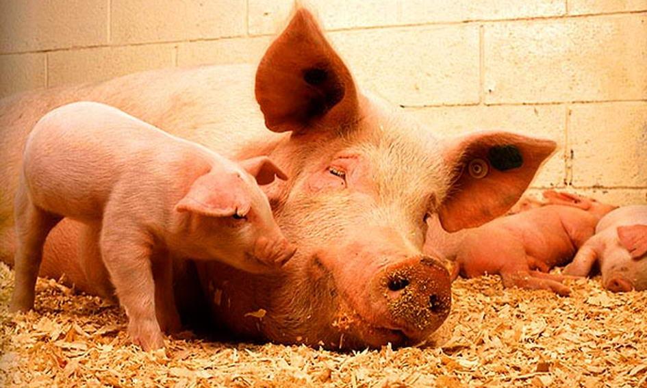 Африканська чума свиней підбирається до Волині