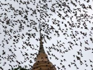 Монахи заробляють $5000 на посліді кажанів