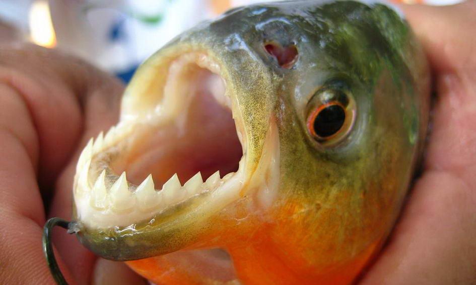 У водосховищі на Львівщині виловили 10-сантиметрових піраній