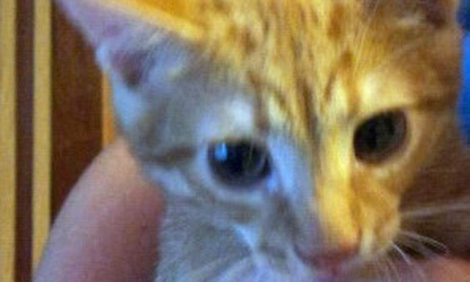 Кіт отримав прізвисько Нацик за тризуб на лобі
