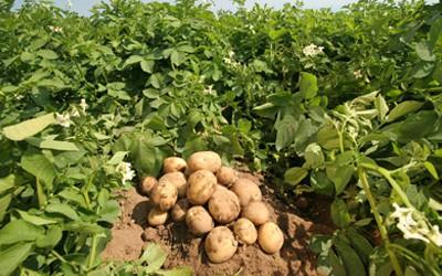 Лікарні області потребують 350 тонн картоплі