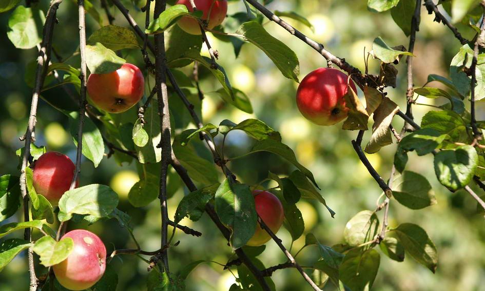 Цього року зберуть більше мільйона тонн яблук