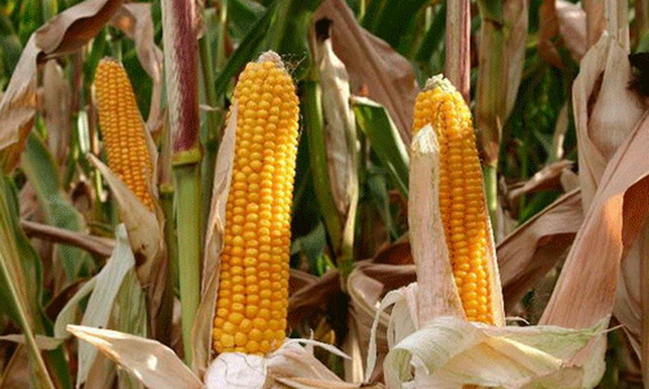 На чужому полі наламав 90 кг качанів кукурудзи